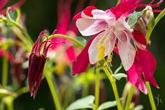 flower in sun (vyhphotography) Tags: canoneos80d botanicalgardens flowers kansas plants wichita