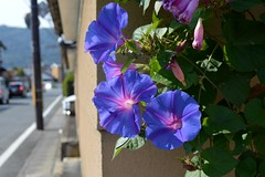 Blue Morning Glory (Ipomoea indica) (Seventh Heaven Photography - (Flora)) Tags: flower flora bloom nikon d3200 blue morning glory ipomoea indica