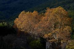 Arrière-saison dans l'arrière-pays (Michel Seguret Thanks for 12,9 M views !!!) Tags: france herault languedoc occitanie michelseguret nikon d800 pro automne autumn fall herbst
