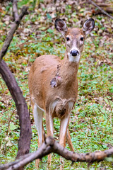 Oh Hi (Stacey Conrad) Tags: d7500 nikon pa phoenixville upperschuylkillrivertrail pennsylvania unitedstates us deer