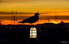 Steveston Harbour Sunset (SonjaPetersonPh♡tography) Tags: steveston harbour fishingboats vessels ships richmond bc britishcolumbia canada sunset silhouettes silhouette stevestonvillage stevestonfishingvillage stevestonwharf stevestonharbour fraserriver boats pier wharf floatingwharf fishermanswharf fishing water river riverscape waterscape waterfront bird seagull