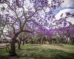 Jacaranda-13 (Mariasme) Tags: purple jacarandatrees challengeyouwinner cyunanimous