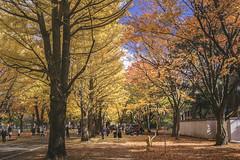 DSC_9607 (juor2) Tags: hokkaido university ginkgo japan nikon scene d4 streetsnap street