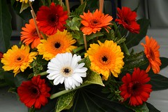 Gerbera (Seventh Heaven Photography **) Tags: 128th shrewsbury flower show shropshire england nikon d3200 flora blooms flowers gerbera white red yellow orange