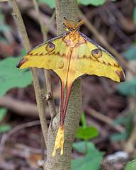 Comet Moth (Jay Packer) Tags: africa lepidoptera animalia cometmoth insecta madagascar arthropoda moths animals argemamittrei madagascanmoonmoth