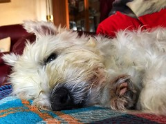 Samson resting (Artybee) Tags: samson westie westhighland white terrier dog resting cute