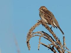 Migliarino di palude (emberiza schloenicus) (Paolo Bertini) Tags: migliarino palude emberiza schloenicus reed bunting verona birdwatching boscomantico bird birding wintering