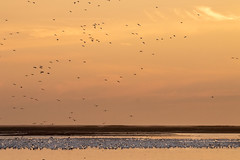 Snow Geese at dawn (tresed47) Tags: 2018 201812dec 20181211bombayhookbirds birds bombayhook canon7dmkii content december delaware fall folder goose peterscamera petersphotos places season snowgoose takenby us