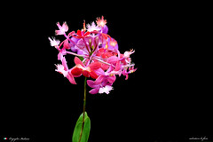 I COLORI DELLA NATURA.   In explore ! (Salvatore Lo Faro) Tags: fiore natura nature orchidea verde rosso giallo colore magenta salvatore lofaro nikon 7200