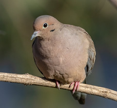 Peace (tresed47) Tags: 2018 201812dec 20181212homebirds birds canon7dmkii chestercounty content dove fall folder home pennsylvania peterscamera petersphotos places season takenby us