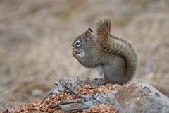 North American Red Squirrel (Turk Images) Tags: jaspernationalpark nationalparks northamericanredsquirrel rockymountains tamiasciurushudsonicus alberta canada mammals sciuridae squirrel rodents