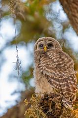 Innocence (agnish.dey) Tags: owl owlet barredowl bird birding birdwatching birdsofprey naturallight nature naturephotograph nikon naturethroughthelens portrait perched trees sky animalplanet d500 coth florida