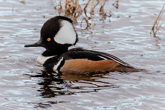 Magnificent Head Dress (tresed47) Tags: 2018 201812dec 20181204bombayhookbirds birds bombayhook canon7dmkii content delaware ducks fall folder hoodedmerganser merganser peterscamera petersphotos places season takenby us
