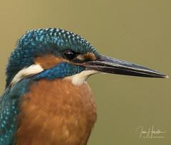 kingfisher (Ian howells wildlife photography) Tags: kingfisher ianhowells ianhowellswildlifephotography nature wildlife