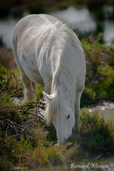 Cheval de Camargue (Photolys) Tags: cheval camargue sauvagenature horse wildnature swamp carriage carriagemarais attelage carrosse
