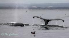 IMG_8422 (b_bev) Tags: montereybay monterey bay california usa wildlife sealife whales dolphins pelicans seals birdlife nature ocean sea