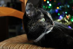 Onyx (Guillaume Auberget) Tags: onyx chat cat félin animaux animauxdecompagnie