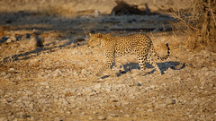 Leopard (cd.delaruelle) Tags: etosha léopard namibia namibie namutoni oshikotoregion canon eos 5dmarkiii
