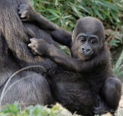 Saambili (rsheath76) Tags: dallaszoo gorillas baby westernlowlandgorilla faces