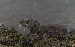 Taking a breather (davidrhall1234) Tags: otter europeanotter–lutralutra eurasianotter animal aquatic scotland oban coastal coast conservation endangered mammal marine nature nikon outdoors shore shoreline sea wildlife world