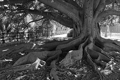 Ficus macrophylla (just.Luc) Tags: tree arbre boom baum árbol albero ficus spain spanje espagne españa spanien andalusië andalucía andalusien andalousie andalusia sevilla seville séville siviglia europa europe bn nb zw monochroom monotone monochrome bw