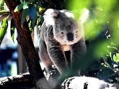 Australian Koala (gerard eder) Tags: world travel reise viajes oceania australia sydney animals animales koala natur nature naturaleza outback outdoor