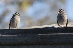 20181230 White-crowned Sparrows (Dolores.G) Tags: 365the2018edition 3652018 day364365 30dec18