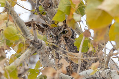 Frosty faced Great Horned Owl