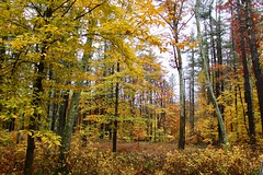 Into the Woods (Read2me) Tags: autumn trees leaf leaves cye forest woods yellow pregame pregamesweepwinner ge storybookotr pregameduelwinner thechallengefactory challengeclubwinner friendlychallenges