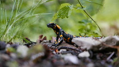 Feuersalamander (Aah-Yeah) Tags: feuersalamander salamander salamandra achental chiemgau bayern