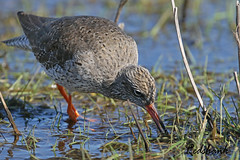 REDSHANK  //  TRINGA  TOTANUS (28CM) (tom webzell) Tags: naturethroughthelens