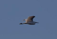 Egret (Liam Waddell) Tags: egret bird sky white blue irvine bogside sssi ici bridge ayrshire scotland