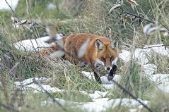 Red Fox. (rumerbob) Tags: redfox fox animal wildlife wildlifephotographer wildlifewatcher nature naturewatcher naturephotography redfoxinthesnow warminsterpark canon7dmarkii canon100400mmlens