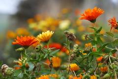 Photo of Calendula Flowers