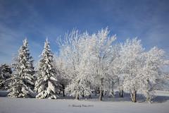 Winter Splendour (Canon Queen Rocks (2,538,000 + views)) Tags: snow frozen frost hoarfrost trees sky scenery scenic winterwonderland bluesky clouds white landscape landscapes alberta canada prairies nature leaves