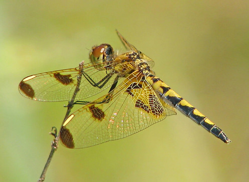 Calico pennant soaking up some sun