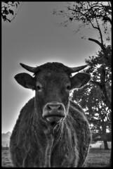 8557 (jpbordais) Tags: vache animal noir blanc campagne ferme cows animals