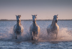 Splashing White Horses (Iurie Belegurschi www.iceland-photo-tours.com) Tags: white whitehorses horse horses horsesrunning camargue france french water splash splashing equine equines animalphotography animals wildanimal adventure beautiful beach blue coastal dreamscape earth enchanting fineart fineartlandscape fineartphotography fineartphotos guidedphotographyworkshops guidedphotographytour icelandphototours iuriebelegurschi landscape landscapephoto landscapephotography landscapes landscapephotos nature outdoor outdoors phototours phototour summer serene tours travel travelphotography view workshop workshops