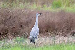 Sandhill Crane (maritimeorca) Tags: animal antigonecanadensis bird clarkcounty crane ridgefieldnationalwildliferefuge sandhillcrane washington ridgefield unitedstates us