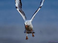 Buzz off! (PortViewR) Tags: gull trouble bird white flying outside wildlife möve vogel himmel olympus 4300mm omd em1ii sky