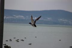 Fly (Péter Vida) Tags: fly balaton duck hills repül kacsa dombság