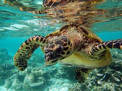 Hawksbill Sea Turtle (ladigue_99) Tags: hawksbillseaturtle eretmochelysimbricata maldives eriyadu indianocean kaafuatoll lakshadweepsea