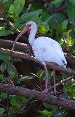 White Ibis (anacm.silva) Tags: whiteibis ibis ave bird wild wildlife nature natureza naturaleza birds aves tárcoles tarcolesriver costarica riotárcoles tárcolesriver eudocimusalbus