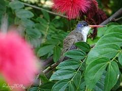 COLIBRI (BARRIO GDL) Tags: aves birds colima guadalajara relax colibries colibri