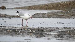 Black Headed Gull (LouisaHocking) Tags: blackheadedgull seagull sea seabird burnhamonsea mud mudflats england southwest british bird beach coast estuary water wild wildlife nature gull