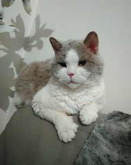 Néo (Catedolls) Tags: chat cat selkirk rex