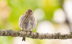 Tarin des pins // Pine Siskin (Alexandre Légaré) Tags: tarin des pins pine siskin spinus pinus bird oiseau animal wildlife nature nikon d7500