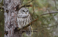 Barred Owl (hd.niel) Tags: barredowl owls wild nature wildlife photography nikon ontario woods autumnwinter pines shade