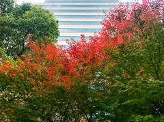Japanese maple trees begin autumn leaf color change against office building - Stock image (DigiPub) Tags: 1076424790 istock 288266337 autumnleafcolor backgrounds beautyinnature branchplantpart change colors freshness greencolor growth horizontal japan japaneseculture japanesemaple lushfoliage multicolored nature nopeople officebuildingexterior outdoors photography plant red scenicsnature season simplicity skyscraper tree variation vector