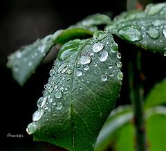 Raindrops in balance (Anavicor) Tags: leaf drop raindrop balance equilibrio gota lluvia bush arbusto rosebush rosal macro mm hmm macromondays green verde tamron90mm nikon d5300 anavicor anavillar villarcorreroana